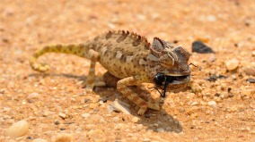 horned lizard reptile namibia