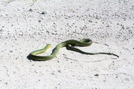 snake namibia reptile