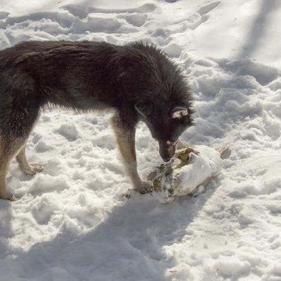 wild dog with prey chernobyl exclusion zone