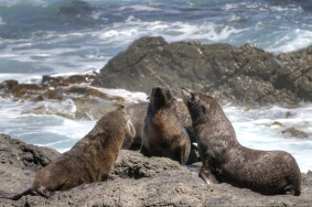 fur seals namibia sperrgebiet