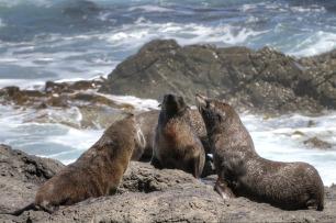 fur seals namibia sperrgebiet