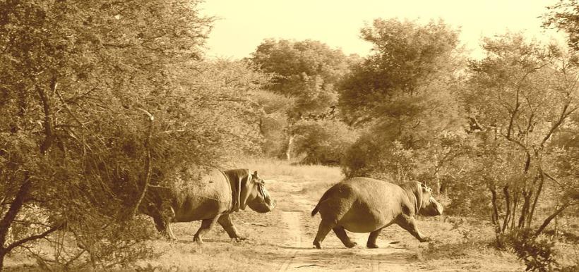 hippos-277432_960_720