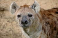 hyena namibia
