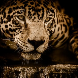 south american jaguar big cat