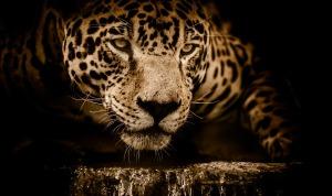 south american jaguar big cat