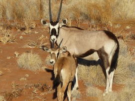namibia oryx ungulate