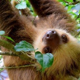 sloth south america mammal