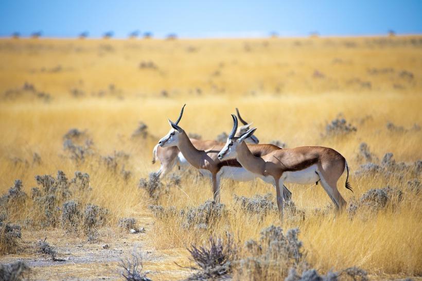 springbok namibia scrubland