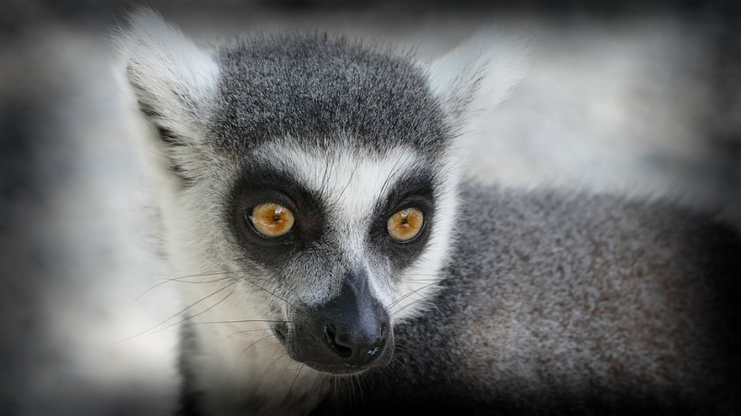ring-tailed lemur madagascar monkey