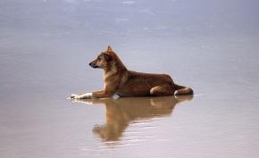australia dingo beach fraser island