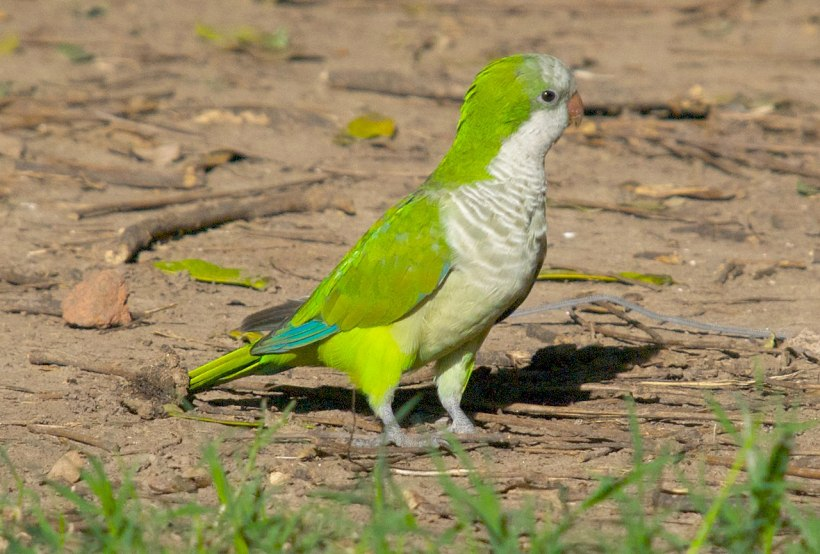 monk parrot quaker parrot bird green chicago tropical south america