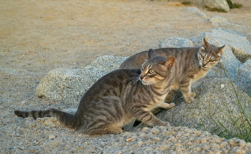 feral cats australia invasive species