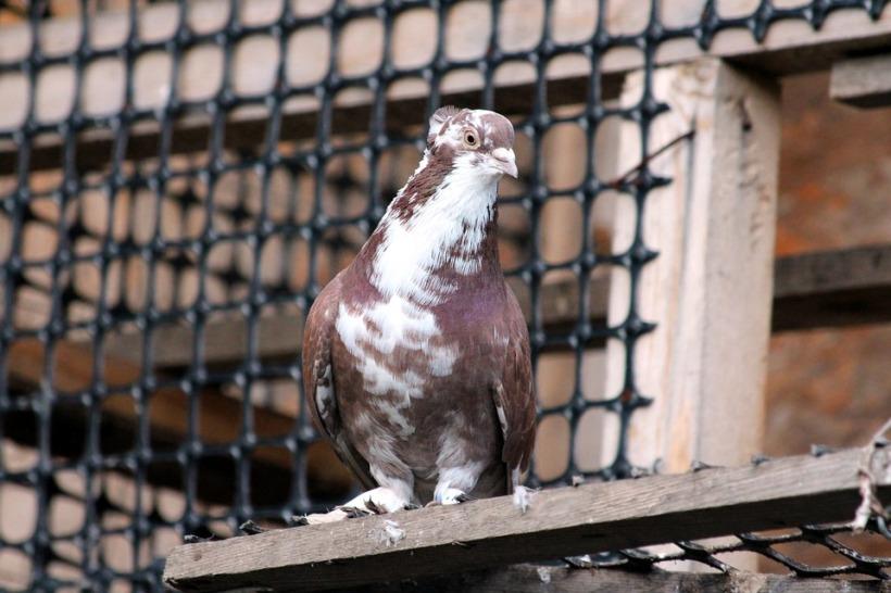 racing pigeon gambling corruption cruelty fraud birds captivity