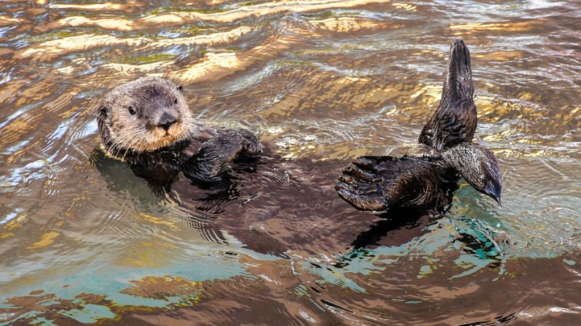 sea otter wildlife