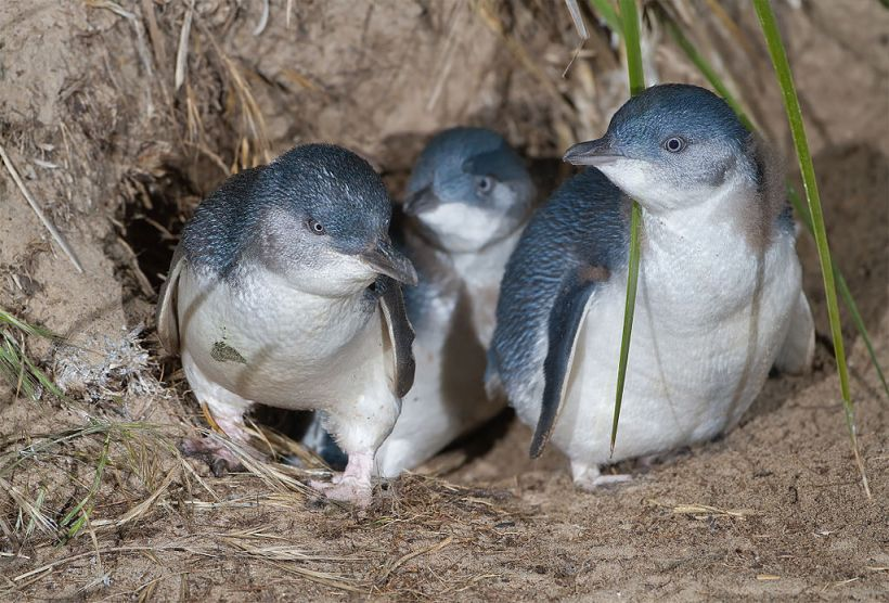 blue penguin new zealand sushi bar breeding nest
